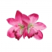 Hiuskoriste, GIGI Double Pink Orchid